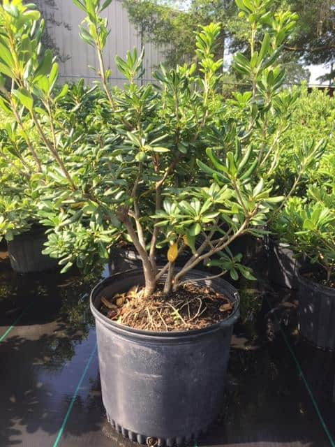 Green Pittosporum 7 gal.