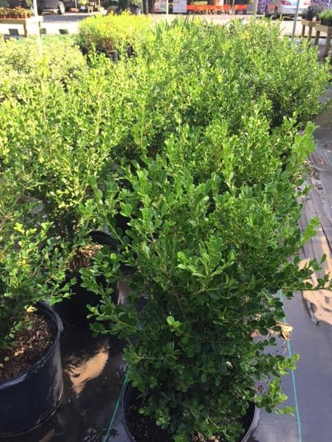 Japanese Boxwood 7 gal.