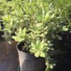 Variegated Pittosporum 3 gal.