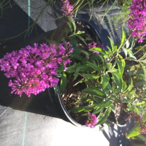 Buddleia 3 gallon