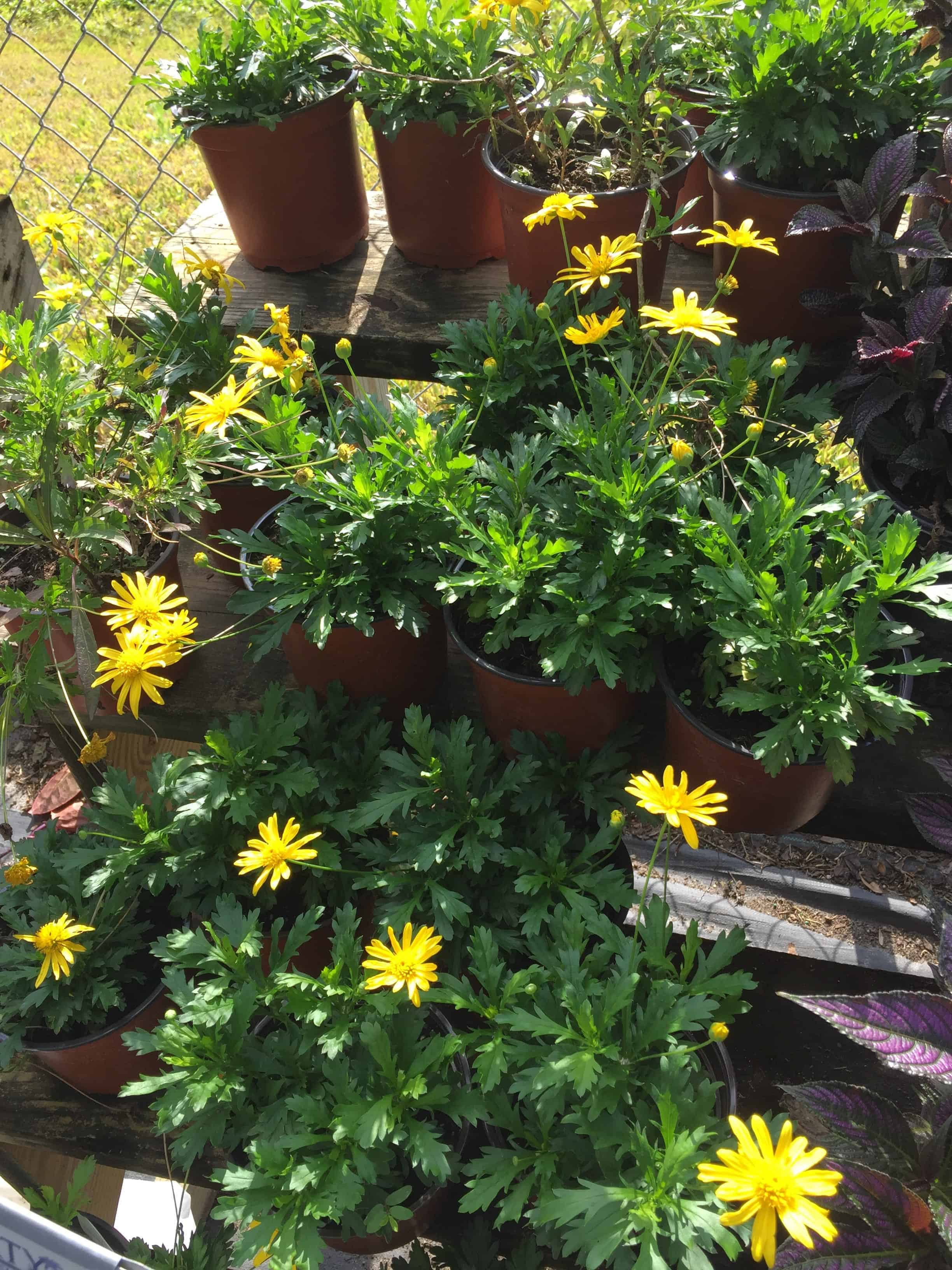 Bush Daisy 1 gallon