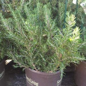 Rosemary 3 gallon