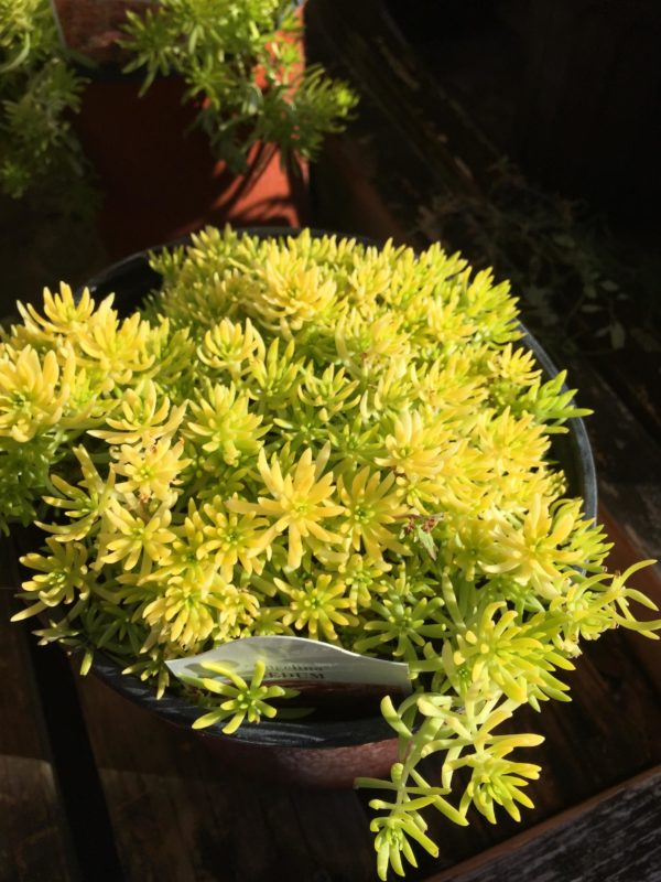 Sedum 1 gallon