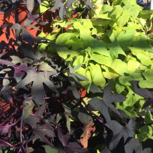Sweet Potato Vine 1 gallon