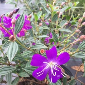 Tibouchina 3 gallon