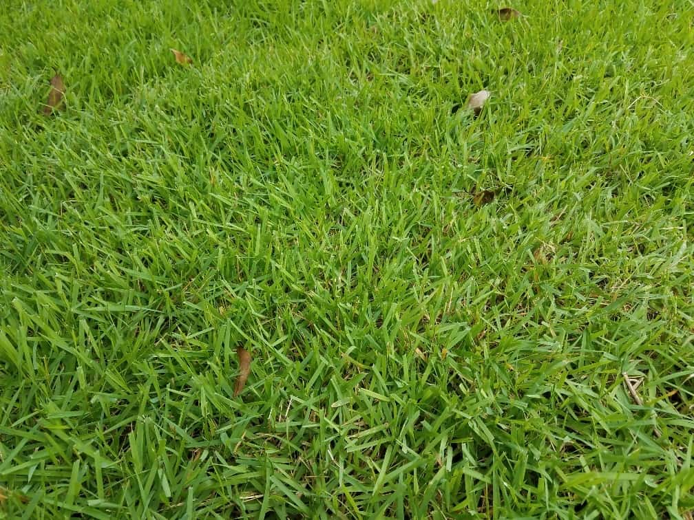 Zoysia Sod is great for a low mowing height