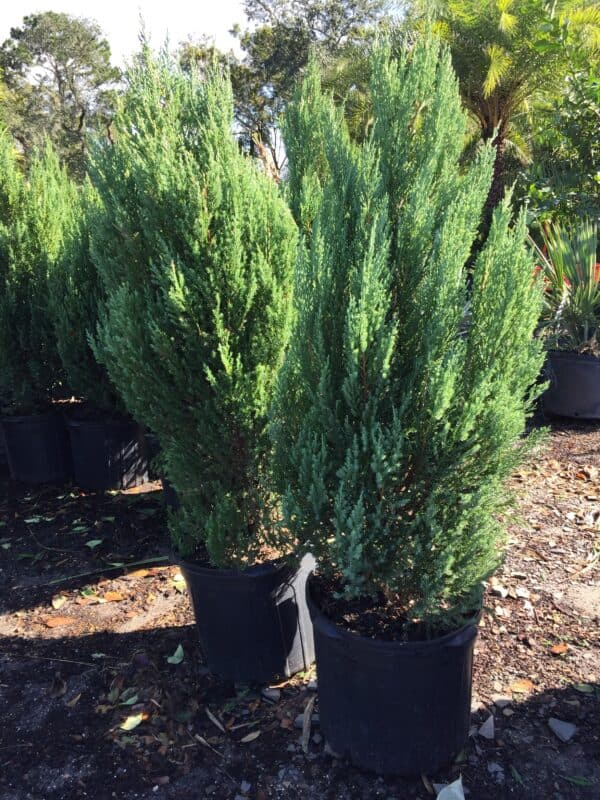 Blue Point Juniper 7 gallon – Liberty Landscape Supply